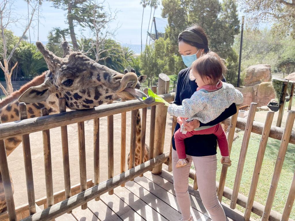 Santa Barbara zoo giraffe feeding